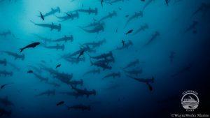 Croisière plongée à Cocos Island à bord du Okeanos Aggressor